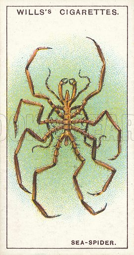 A Sea-Spider, a blind sea-animal. Illustration for one of a series of cigarette cards on the subject of Wonders of the Sea published by Wills's Cigarettes, early 20th century.