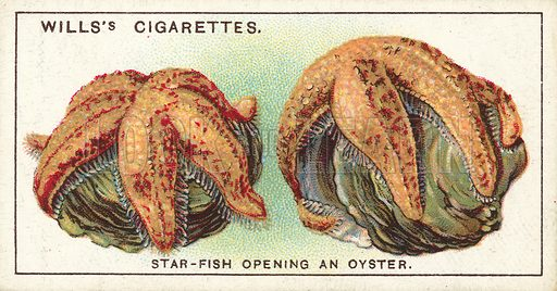 A Star-Fish opening an Oyster, a tug-of-war where the odds are on the Star-fish
