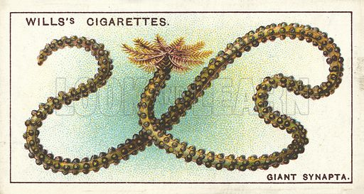 The Giant Synapta, not a worm, but a member of the Sea-Urchin family. Illustration for one of a series of cigarette cards on the subject of Wonders of the Sea published by Wills's Cigarettes, early 20th century.