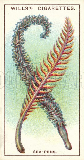 Sea-Pens, fern-like colonies of sea-animals. Illustration for one of a series of cigarette cards on the subject of Wonders of the Sea published by Wills's Cigarettes, early 20th century.