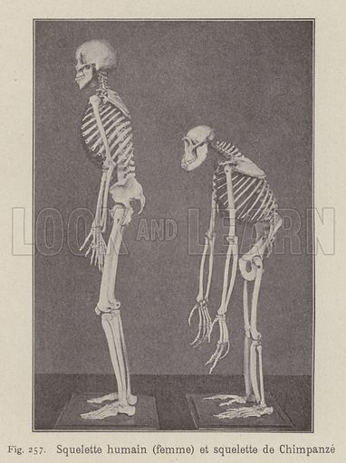 Skeletons of a human woman and a chimpanzee