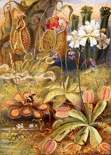 Carnivorous plants, picture, image, illustration