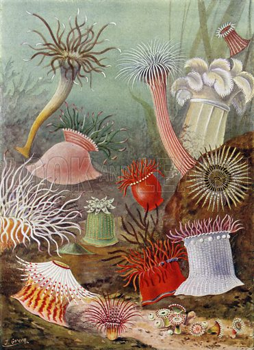 Sea Anemones of Northern Seas