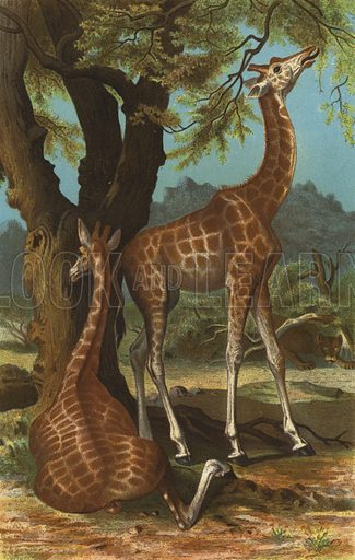 Girafe. Illustration for Brehms Thierleben Allgemeine Kunde des Thierreichs (Bibliographischen Instituts, c 1880-90).
