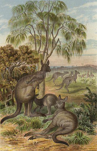 Riesenkanguru