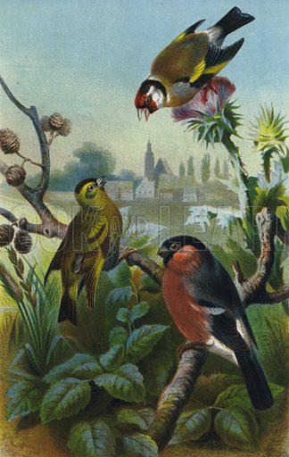 Stieglitz, Zeisig und Gimpel. Illustration for Brehms Thierleben Allgemeine Kunde des Thierreichs (Bibliographischen Instituts, c 1880–90).