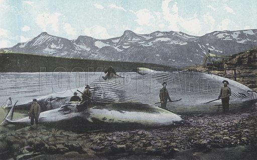 A Catch of Whales, Norway