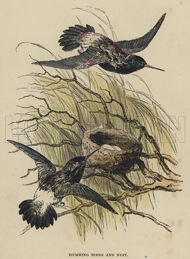 Humming Birds and Nest