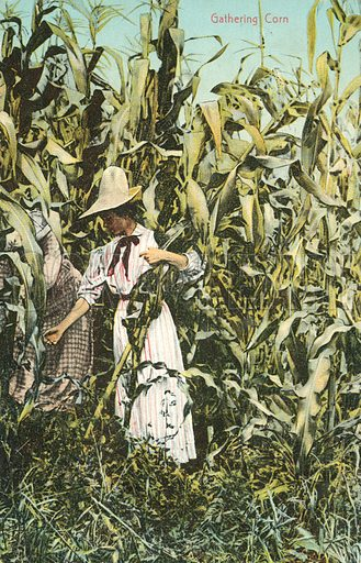 Woman harvesting corn. Postcard, early 20th century.