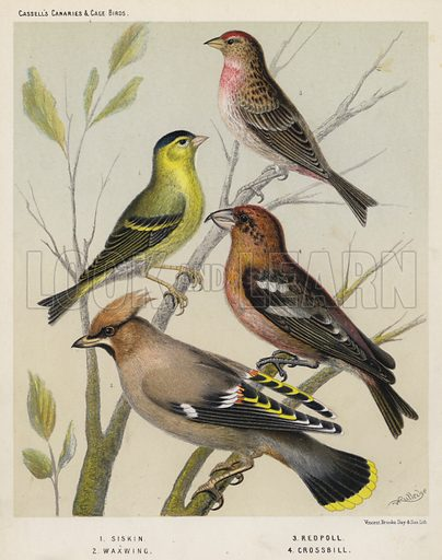 Siskin, Waxwing, Redpoll, Crossbill. Illustration for Cassell's Canaries and Cage Birds (c 1885).