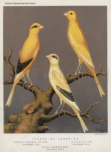 Yorkshire Canaries, Evenly Marked Yellow, Cayenne Fed, Clear Yellow, Cayenne Fed, Evenly Marked Buff, Cayenne Fed. Illustration for Cassell's Canaries and Cage Birds (c 1885).