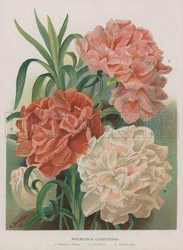 Malmaison Carnations