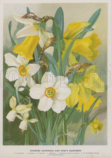 Trumpet Daffodils and Poet's Narcissus