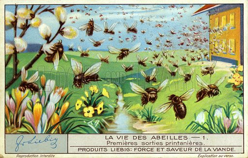 Bees making one of their first flights from the hive in the spring. Liebig card, early 20th century, from a series on the life of bees.