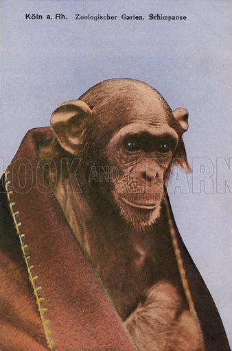 Cologne Zoo, Chimpanzee