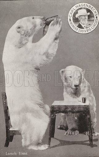 Lunch time, polar bears at Carl Hagenbeck's Wonder Zoo and Big Circus, Olympia, London. Postcard, early 20th Century.