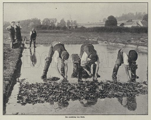 Re-stocking watercress beds. Illustration from The Cottager and Artisan (The Religious Tract Society, London, 1909).