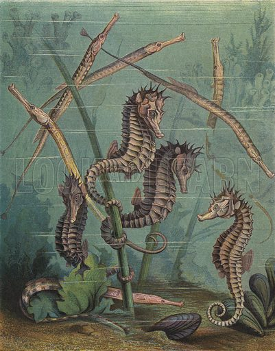 Seahorses and pipefish.