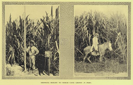 Sugar cane cultivation in Peru. Illustration from Commercial Encyclopedia, South America and Cuba (Globe Encyclopedia Company, London, 1924).