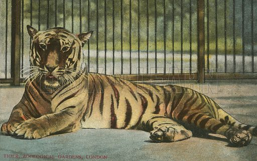 Tiger at London Zoo. Postcard, early 20th century.
