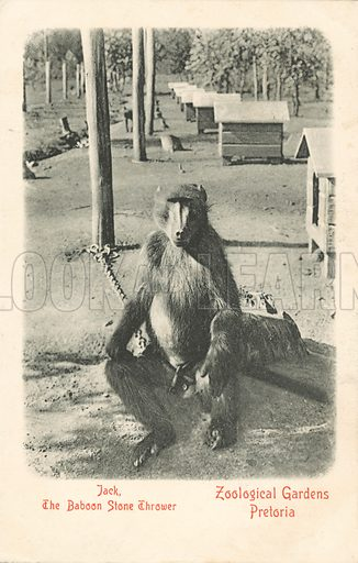 Jack, the baboon stone thrower, Pretoria Zoo, South Africa. Postcard, early 20th century.