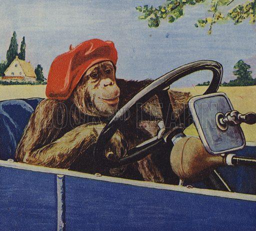 Chimpanzee driving a car