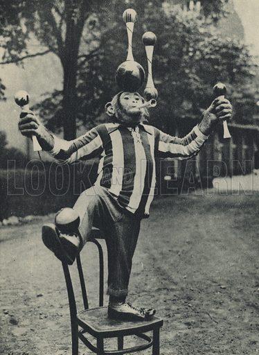 Chimpanzee juggling