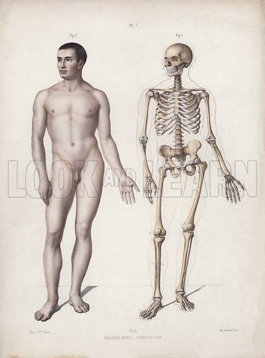 Illustration for The Anatomy of the External Forms of Man: Man standing