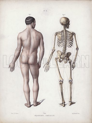 Illustration for The Anatomy of the External Forms of Man: Man standing, back view