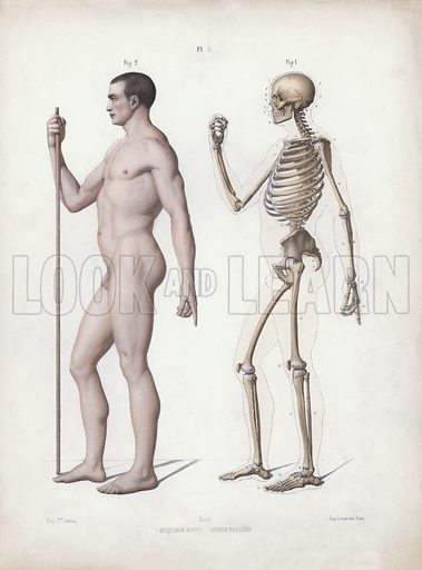 Illustration for The Anatomy of the External Forms of Man: Man standing, side view