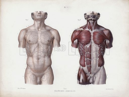 Illustration for The Anatomy of the External Forms of Man: Male torso, front view