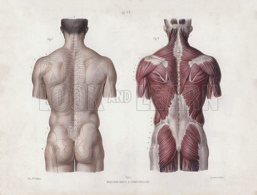 Illustration for The Anatomy of the External Forms of Man: Male torso, back view