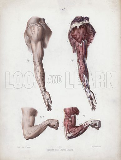 Illustration for The Anatomy of the External Forms of Man: Male arm and hands