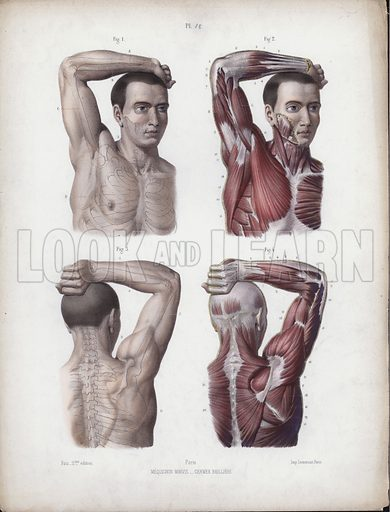 Illustration for The Anatomy of the External Forms of Man: Male, arm, head and torso