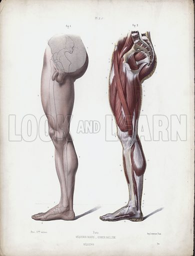 Male leg, side view. Illustration for The Anatomy of the External Forms of Man, intended for the use of artists, painters and sculptors by Doctor J Fau, containing drawings from nature, lithographed by M Leveille, Pupil of M Jacob, edited by Robert Knox (Bailliere Tindall and Cox, nd).