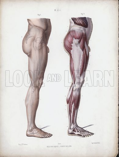 Illustration for The Anatomy of the External Forms of Man: Male leg, side view