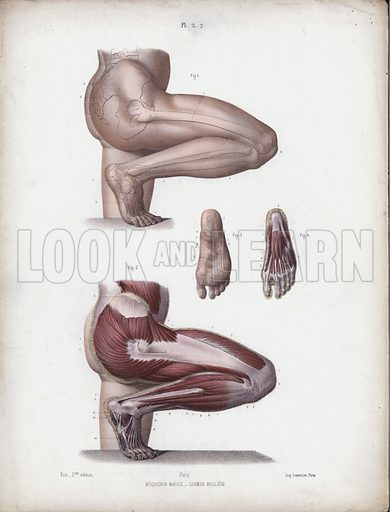 Male leg and foot. Illustration for The Anatomy of the External Forms of Man, intended for the use of artists, painters and sculptors by Doctor J Fau, containing drawings from nature, lithographed by M Leveille, Pupil of M Jacob, edited by Robert Knox (Bailliere Tindall and Cox, nd).