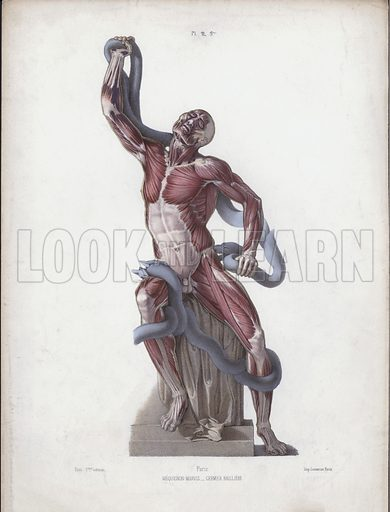 Illustration for The Anatomy of the External Forms of Man: Laocoon