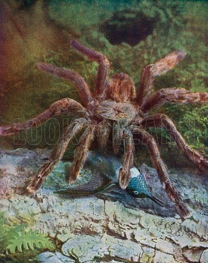 Giant spider, eating a humming-bird