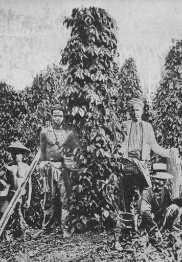 Pepper vines in Malaya.  Illustration for The New Book of Knowledge edited by Sir John Hammerton (Waverley, c 1948).