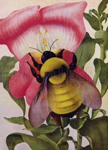 Bumble Bee opening a snapdragon flower. Illustration for The New Book of Knowledge edited by Sir John Hammerton (Waverley, c 1948).