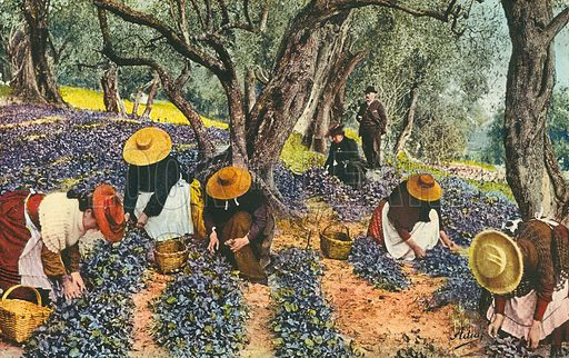 Picking violets, Cote d'Azur, France. Postcard, early 20th century.