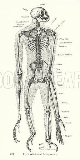 Skeleton of orangutang.  Illustration for The Museum of Science and Art edited by Dionysius Lardner (Walton and Maberly, 1854-56).