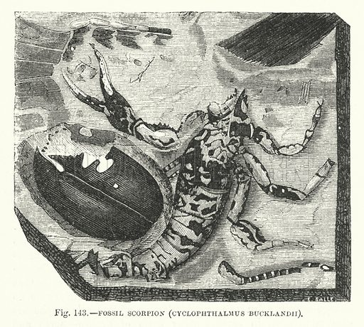 Fossil scorpion.  Illustration for The Museum of Science and Art edited by Dionysius Lardner (Walton and Maberly, 1854-56).