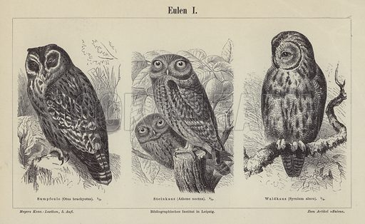 Owls. Illustration from Meyer's Konversations-Lexicon, c1895.