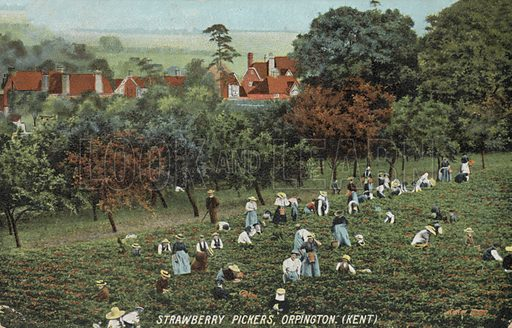 Strawberry pickers in the fields at Orpington, Kent. Postcard, early 20th century.