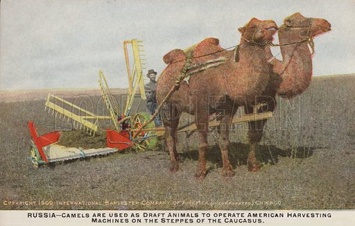 Bactrian camels pulling American harvesting machines on the Russian Steppes in the Caucasus, 1909. Postcard, early 20th century.