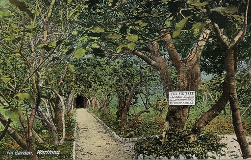 Ancient fig gardens at Tarring, Worthing, Sussex, claiming to have the oldest fig tree in England, planted by Thomas Becket. Postcard, early 20th century.