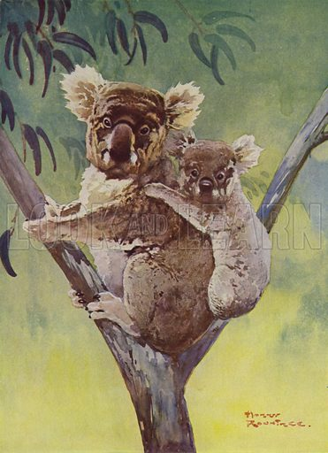 Koala bear and joey in a eucalyptus tree, Australia. Illustration from The Wonder Book of Science (Ward, Lock & Co, Limited, London and Melbourne, c1935).