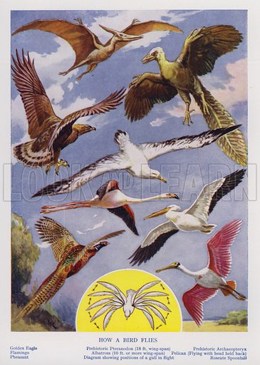 How a bird flies. Illustration from The Wonder Book of Would You Believe It? (Ward, Lock & Co, Limited, London and Melbourne, c1940).